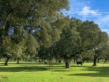 Μια ομάδα αγελάδων grazin στο λιβάδι με τις βαλανιδιές ακροποταμιών και τον μπλε νεφελώδη ουρανό στην Ισπανία Στοκ Εικόνα