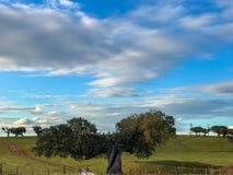 Μια ομάδα αγελάδων grazin στο λιβάδι με τις βαλανιδιές ακροποταμιών και έναν μπλε νεφελώδη ουρανό φρακτών και στην Ισπανία Στοκ Εικόνα