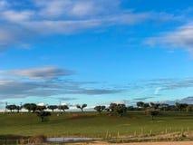 Μια ομάδα αγελάδων grazin στο λιβάδι με τις βαλανιδιές ακροποταμιών και έναν μπλε νεφελώδη ουρανό φρακτών και στην Ισπανία Στοκ εικόνα με δικαίωμα ελεύθερης χρήσης
