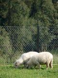 Μια ομάδα δύο μικρών προβάτων που τρώνε τη χλόη σε έναν τομέα, αγροτική περιοχή, άσπρο μαλλί, πλήρες μήκος στοκ εικόνες