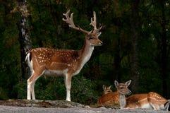 Μια ομάδα ελαφιών αγραναπαύσεων, με την έλαφο, fawn και buck σε ένα δάσος στη Σουηδία