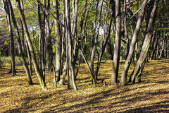 Μια ομάδα λεπτών δέντρων Στοκ Εικόνα