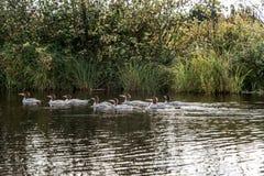 Μια ομάδα νέων κοινών νεοσσών χωριατών που κολυμπούν στη λίμνη δύο ποταμών algonquin στο εθνικό πάρκο Οντάριο, Καναδάς Στοκ φωτογραφία με δικαίωμα ελεύθερης χρήσης