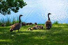 Μια ομάδα νεανικών καναδοχηνών από ένας γονέας που προσέχει στοκ φωτογραφίες με δικαίωμα ελεύθερης χρήσης