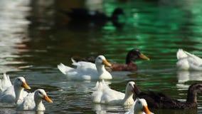 Μια ομάδα παπιών που κολυμπούν και που ξοδεύουν τον οικογενειακό χρόνο απόθεμα βίντεο