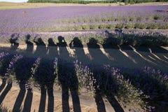 Μια ομάδα φίλων που απολαμβάνουν παίρνοντας τη φωτογραφία και έχοντας τη διασκέδαση lavender στο αγρόκτημα στη Νέα Ζηλανδία στοκ φωτογραφία με δικαίωμα ελεύθερης χρήσης