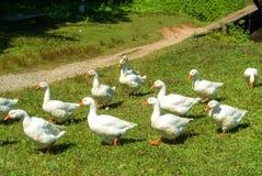 Μια ομάδα φωτεινών άσπρων χήνων που πηγαίνουν πέρα από τα πράσινα gras στο φ Στοκ φωτογραφίες με δικαίωμα ελεύθερης χρήσης