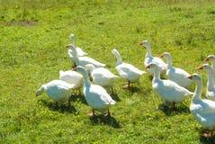 Μια ομάδα φωτεινών άσπρων χήνων που πηγαίνουν πέρα από τα πράσινα gras στο φ Στοκ Φωτογραφίες