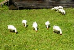 Μια ομάδα φωτεινών άσπρων χήνων που τρώνε τα πράσινα gras στον τομέα επάνω Στοκ φωτογραφία με δικαίωμα ελεύθερης χρήσης