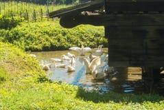 Μια ομάδα φωτεινών άσπρων χήνων σε μια μικρή λίμνη στο ηλιόλουστο καλοκαίρι δ Στοκ Εικόνες