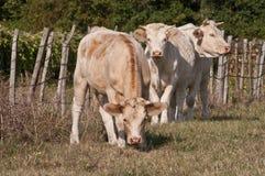 Μια ομάδα βοοειδών 3 Charelais Στοκ Φωτογραφία