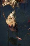 Μια ομάδα κοκκίνου ο κυπρίνος στη λίμνη λωτού Στοκ φωτογραφία με δικαίωμα ελεύθερης χρήσης