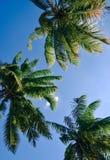 Μια ομάδα κορυφών δέντρων καρύδων με τον ουρανό Στοκ Εικόνες