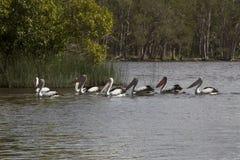 Μια ομάδα πελεκάνων στη λίμνη Cootharaba Στοκ εικόνες με δικαίωμα ελεύθερης χρήσης