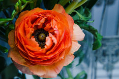 Μια ομορφιά, πορτοκαλιά, περσική μακροεντολή βατραχίων νεραγκουλών λουλουδιών άνοιξη Αγροτικό ύφος, ακόμα ζωή ζωηρόχρωμες διακοπέ στοκ φωτογραφία με δικαίωμα ελεύθερης χρήσης