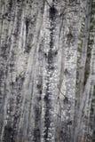 Μια οπτική παραίσθηση κοιτάζοντας σε ένα δάσος σημύδων Στοκ Εικόνες