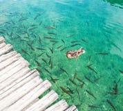 Μια πάπια που κολυμπά μεταξύ των ψαριών Στοκ Εικόνες