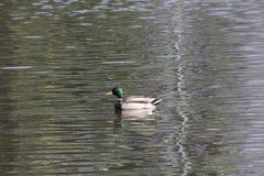 Μια πάπια που κολυμπά στη λίμνη Στοκ Φωτογραφία
