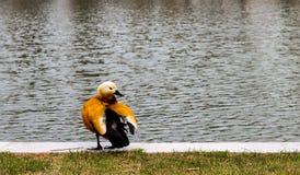 Μια πάπια που στέκεται στην τράπεζα μιας λίμνης στοκ φωτογραφίες με δικαίωμα ελεύθερης χρήσης