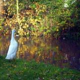 Μια πάπια στην πράσινη χλόη που κοιτάζει προς τον ποταμό το φθινόπωρο στοκ φωτογραφία με δικαίωμα ελεύθερης χρήσης