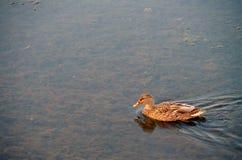 Μια πάπια ` s κολυμπά στοκ εικόνες με δικαίωμα ελεύθερης χρήσης
