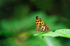 Μια παραμονή πεταλούδων στο πράσινο φύλλο στοκ εικόνες