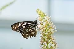 Μια παραμονή πεταλούδων στο λουλούδι Στοκ Φωτογραφίες