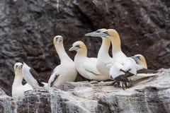 Μια πασπαλίζοντας με ψίχουλα αποικία του βόρειου bassanus Morus gannets σε μια πέρκα στοκ εικόνα με δικαίωμα ελεύθερης χρήσης