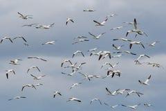 Μια πασπαλίζοντας με ψίχουλα αποικία του βόρειου bassanus Morus gannets σε μια πέρκα στοκ φωτογραφίες