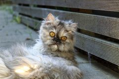 Μια περσική γάτα να βρεθεί Στοκ φωτογραφία με δικαίωμα ελεύθερης χρήσης