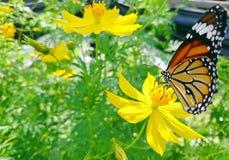 Μια πεταλούδα μοναρχών εσκαρφάλωσε σε ένα κίτρινο λουλούδι στον κήπο Στοκ Εικόνες