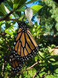 Μια πεταλούδα μοναρχών προέκυψε ακριβώς από τη χρυσαλίδα της σε έναν κήπο στοκ εικόνα με δικαίωμα ελεύθερης χρήσης