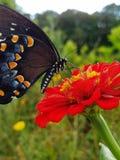 Μια πεταλούδα που συλλέγει το νέκταρ στοκ φωτογραφία με δικαίωμα ελεύθερης χρήσης