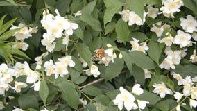 Μια πεταλούδα συλλέγει το νέκταρ σε ένα άσπρο λουλούδι απόθεμα βίντεο