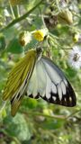 Μια πεταλούδα στοκ εικόνα με δικαίωμα ελεύθερης χρήσης