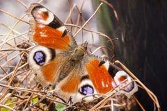Μια πεταλούδα Peacock προκύπτει από τη χειμερινή διαχείμαση της στοκ εικόνα