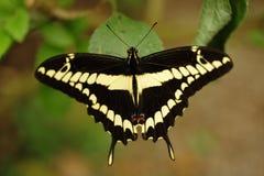 Μια πεταλούδα Thoas Swallowtail στηρίζεται σε ένα φύλλο στοκ φωτογραφία με δικαίωμα ελεύθερης χρήσης