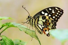 Μια πεταλούδα ασβέστη στοκ φωτογραφίες με δικαίωμα ελεύθερης χρήσης
