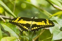 Μια πεταλούδα με τα κίτρινα σημεία Στοκ φωτογραφία με δικαίωμα ελεύθερης χρήσης