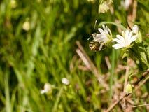 Μια πεταλούδα που τρώει σε μια άσπρη μακροεντολή λουλουδιών την άνοιξη με το υψηλό δ Στοκ φωτογραφίες με δικαίωμα ελεύθερης χρήσης