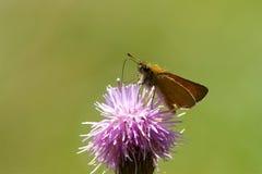 Μια πεταλούδα πλοιάρχων Essex που ταΐζει με ένα λουλούδι κάρδων Στοκ Φωτογραφία