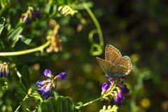 Μια πεταλούδα στα λουλούδια Στοκ φωτογραφία με δικαίωμα ελεύθερης χρήσης