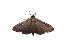Μια πεταλούδα του οικογενειακού σκώρου lat Pyralidae στοκ φωτογραφίες με δικαίωμα ελεύθερης χρήσης