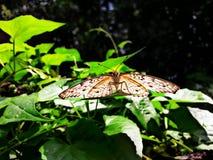 Μια πεταλούδα Στοκ Εικόνες