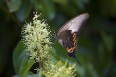Μια πετώντας πεταλούδα Στοκ Εικόνα