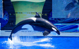 Μια πηδώντας φάλαινα δολοφόνων Στοκ Φωτογραφίες