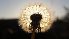 Μια πικραλίδα αναμμένη με να εξισώσει τον ήλιο στοκ εικόνες με δικαίωμα ελεύθερης χρήσης