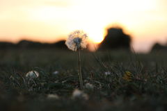 Μια πικραλίδα στο ηλιοβασίλεμα Στοκ φωτογραφίες με δικαίωμα ελεύθερης χρήσης