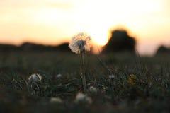 Μια πικραλίδα στο ηλιοβασίλεμα Στοκ Εικόνες