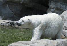 Μια πολική αρκούδα στέκεται σε μια δύσκολη όχθη ποταμού Στοκ Φωτογραφία
